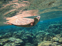 Sea turtle near the corals Royalty Free Stock Images