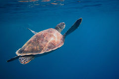 Sea turtle nearing the surface Stock Photography