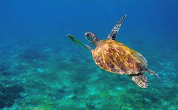 Sea turtle in ocean closeup. Tropical sea animal underwater photo. Marine tortoise undersea. Green turtle in natural environment. Marine animal underwater stock image