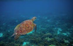 Sea turtle in ocean. Exotic sea animal underwater photo. Marine tortoise undersea. Green turtle in natural environment. Sea turtle in ocean waters. Exotic sea stock photo