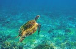 Sea turtle in ocean waters. Coral reef animal underwater photo. Marine tortoise undersea. Green turtle in natural environment. Marine animal underwater royalty free stock image