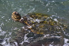 Sea Turtle in the Pacific Ocean. Stock Image