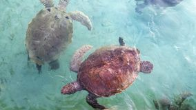 Sea turtle pair Royalty Free Stock Photography