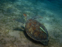 Sea turtle with pilot fish Stock Image