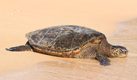 Sea Turtle on Poipu Beach, Kauai Royalty Free Stock Photos