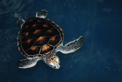 Sea turtle in pool Royalty Free Stock Photos
