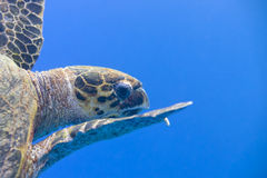 A sea Turtle portrait Stock Photos