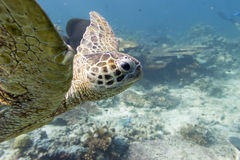 Sea Turtle portrait close up while looking at you Stock Photography
