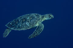A sea Turtle portrait close up while looking at you Royalty Free Stock Photography