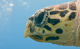 Sea Turtle portrait eye close up Royalty Free Stock Images