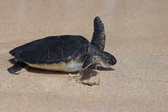 Sea Turtle Race Royalty Free Stock Images