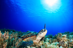 Sea Turtle raising its flipper towards the sun Stock Photography