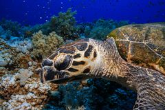 Sea Turtle at the Red Sea, Egypt stock images