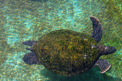 Sea turtle in the Red Sea Royalty Free Stock Image
