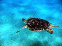 Sea turtle in Red sea Royalty Free Stock Photos