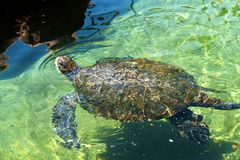Sea turtle in the Red Sea Eilat Stock Image