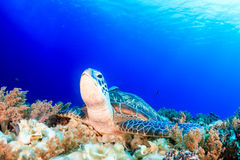 Sea turtle on a reef Royalty Free Stock Image