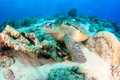 Sea turtle on a reef Stock Photos