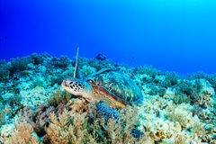 Sea turtle on a reef Royalty Free Stock Photos