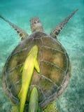 Sea Turtle with remora attached in Mexico. Sea Turtle with remora (suckerfish) attached in the Caribbean sea near Mexico Cancun stock photography