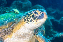 Sea turtle with remora. Sea turtle with a remora in close up stock photos