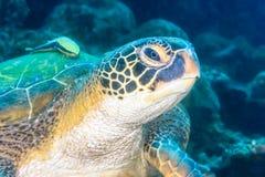 Sea turtle with remora Stock Photos