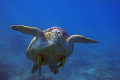 Sea turtle with remora floating in water column in Red Sea Royalty Free Stock Images