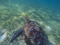 Sea turtle and remora sucker fish photo. Marine green sea turtle closeup. Wildlife of tropical coral reef. Sea tortoise underwater. Tropical sea fauna. Animal stock image