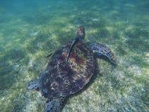 Sea turtle and remora sucker fish photo. Marine green sea turtle closeup. Wildlife of tropical coral reef. Sea tortoise in water. Tropical sea fauna. Animal stock image