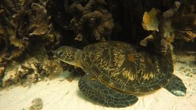A sea turtle at rest. An underwater close up slow motion shot of a sea turtle at rest stock video footage