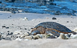 Sea Turtle Resting on Beach Stock Photos