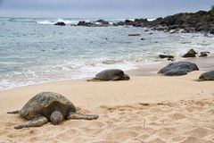 Sea Turtle Resting On The Beach Royalty Free Stock Photos