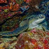 Sea turtle resting Stock Image