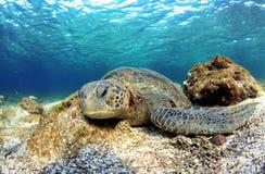 Sea turtle resting underwater Royalty Free Stock Image