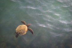 Sea turtle rising to surface Royalty Free Stock Image