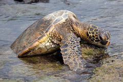 Sea Turtle on a Rock. A sea turtle pulls himself up on a rock to relax in the sun Stock Photo