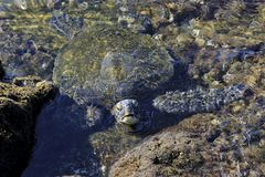 Close up of sea turtle in a rock pool stock images