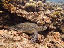 Sea turtle Royalty Free Stock Photos
