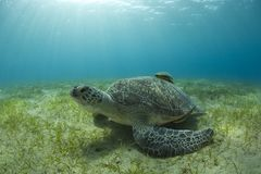 Sea turtle on sand bed. Underwater Royalty Free Stock Image