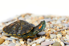 Sea turtle on the sand Royalty Free Stock Image