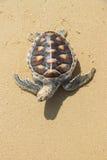 Sea turtle on sand karon phuket Thailand Royalty Free Stock Photography