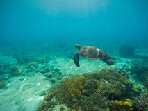 Sea turtle by sand seabottom underwater photo. Royalty Free Stock Image