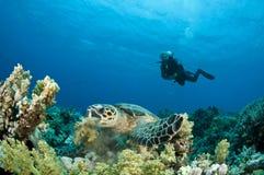 Sea Turtle with scuba diver. On pristine coral reef stock image