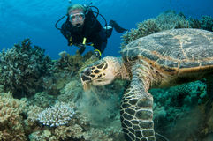 Sea Turtle with scuba diver. In the ocean Royalty Free Stock Photography