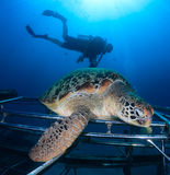 Sea turtle with SCUBA diver Stock Photo