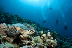 Sea Turtle and scuba divers Royalty Free Stock Photos