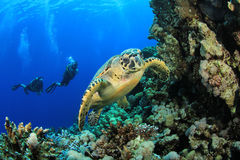 Sea Turtle and Scuba Divers. Couple of Scuba Divers swim with Hawksbill Sea Turtle stock photos