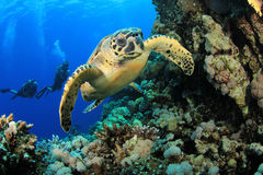Sea Turtle and Scuba Divers. Couple of Scuba Divers swim with Hawksbill Sea Turtle stock images