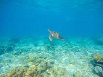 Sea turtle by sea bottom. Wild turtle swims underwater in blue tropical sea. Stock Photos