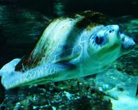 Sea turtle. In the water royalty free stock photo